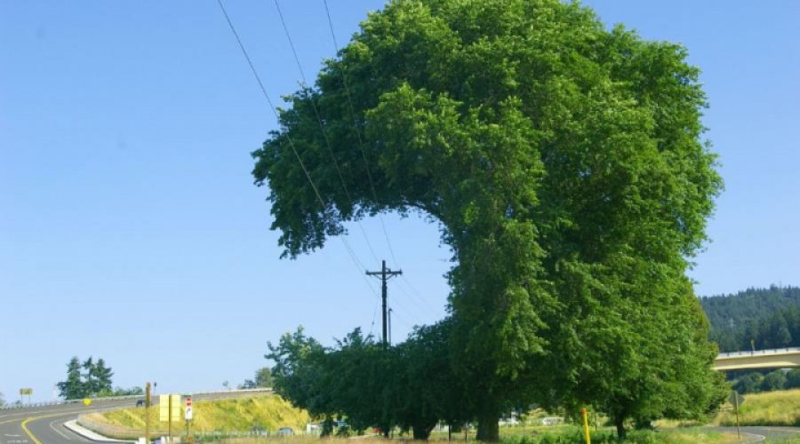 Look Up When You Plant – trees and  utility lines