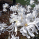 The Star Magnolia – Star of the Cold Garden