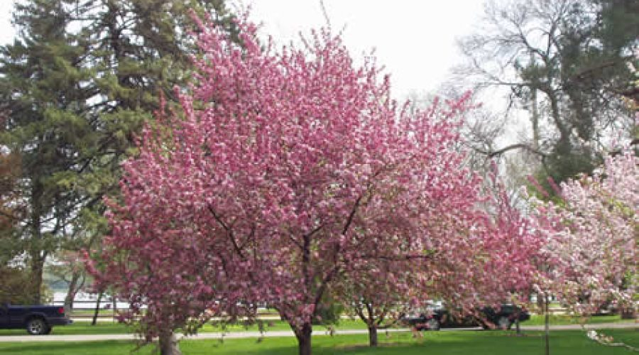 Crab Apples – the Best Flowering Tree for Cold Climates