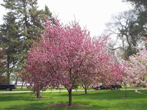 Crab Apples The Best Flowering Tree For Cold Climates The Tree