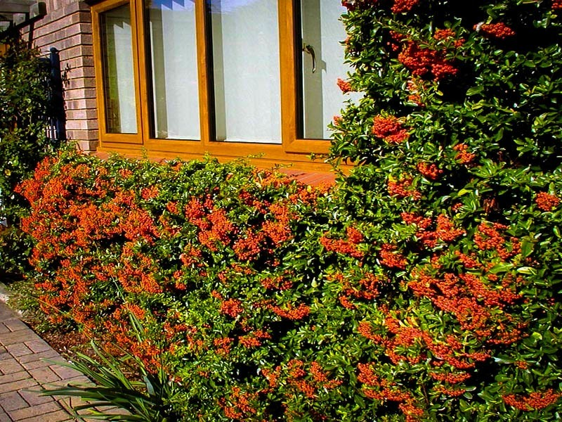 Mohave pyracantha for sale online the tree center for Piracanta pianta