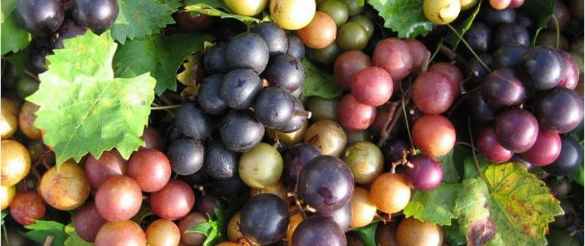 Grow Muscadine grapes – the best grapes you will ever taste