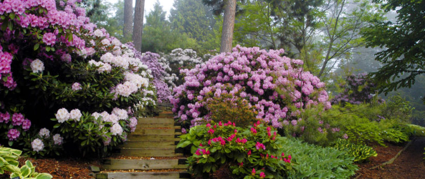Growing Rhododendrons on Alkaline Soil