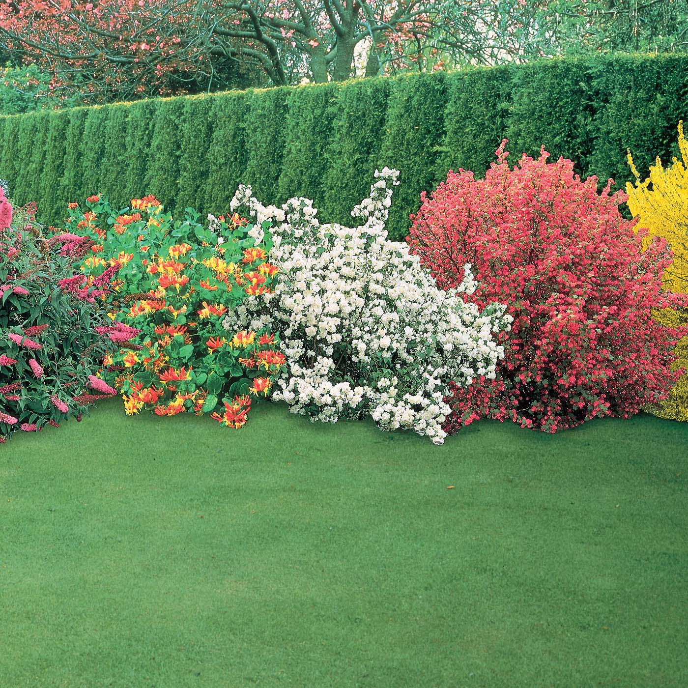 Bring lots of color to your summer garden the tree center for Low bushes for landscaping