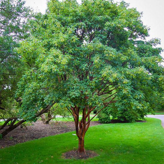 Paperbark Maple The Tree Center