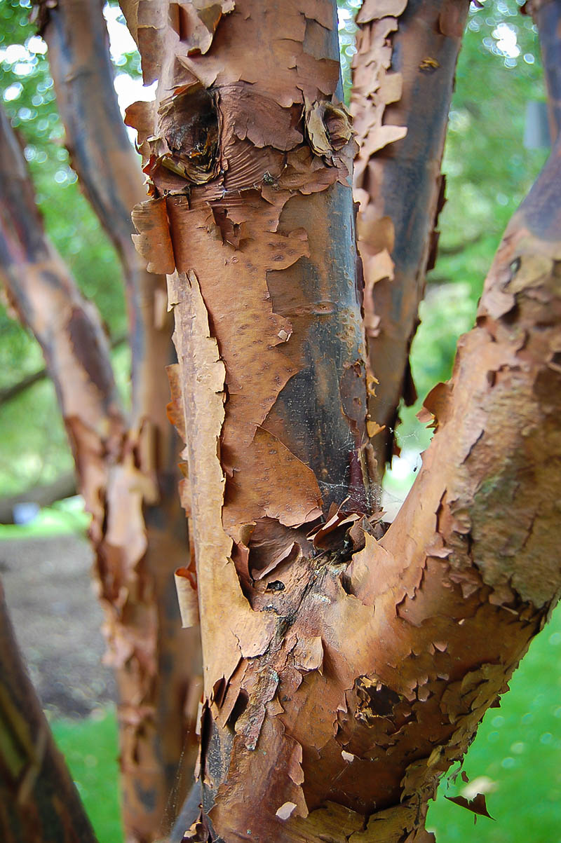 Paperbark Maple   The Tree Center™