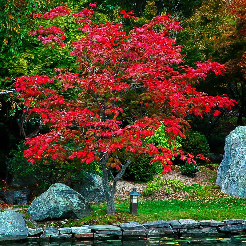 Fernleaf Full Moon Japanese Maple Trees For Sale The