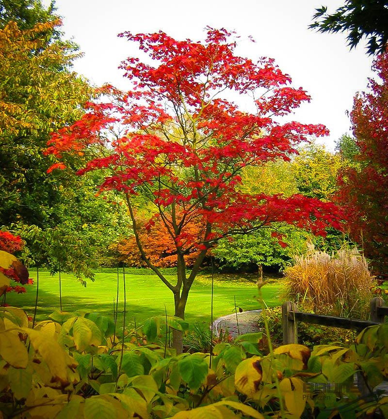 PlantFiles Pictures: Full Moon Maple, Japanese Maple ... |Full Moon Maple Leaf