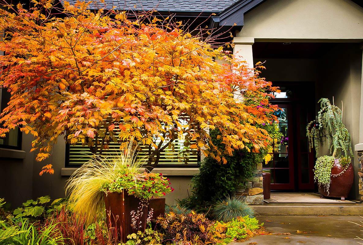 Acer shirasawanum 'Aureum' Japanese Maple | Japanese maple ... |Full Moon Maple Leaf