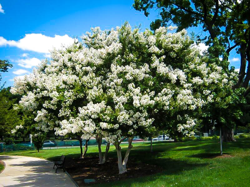 Buy Acoma Crape Myrtle Online The Tree Center