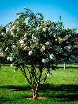 Acoma Crape Myrtle Tree