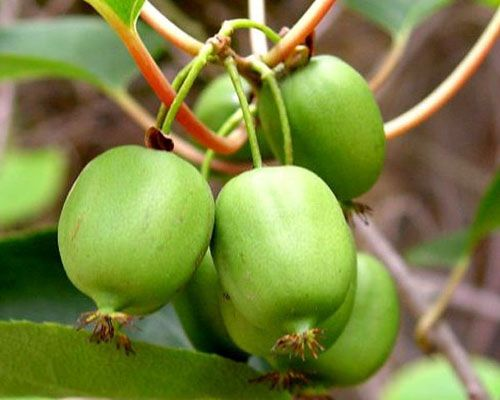 Issai Arctic Kiwi For Sale Online The Tree Center