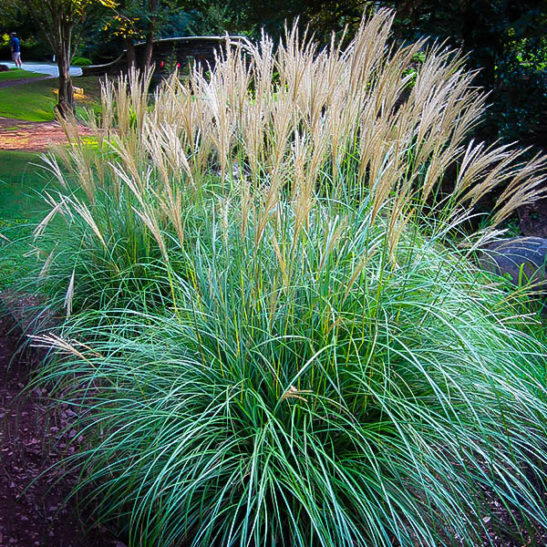 Adagio Maiden Grass For Sale Online The Tree Center