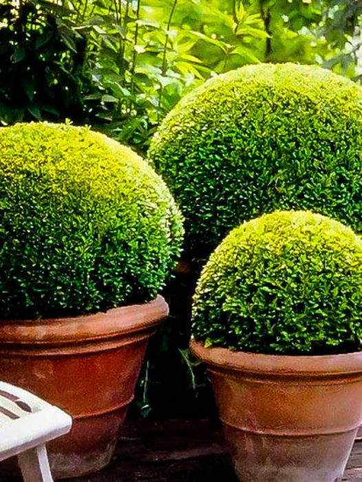 Shrubs And Hedges For Sale Buy Shrubs Online The Tree