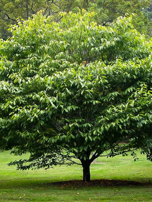 Buy shade trees online the tree center for Canopy of trees