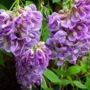 amethyst-falls-wisteria-2