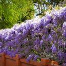 amethyst-falls-wisteria-3