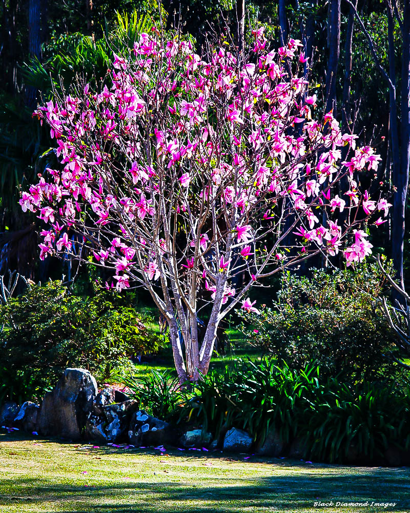 Ann Magnolia The Tree Center