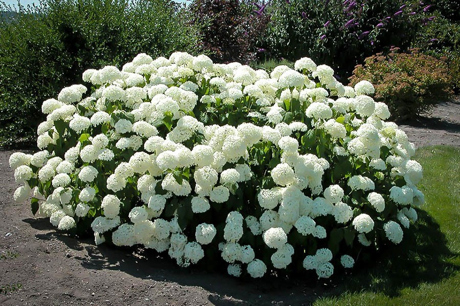 annabelle hydrangea for sale the tree center. Black Bedroom Furniture Sets. Home Design Ideas