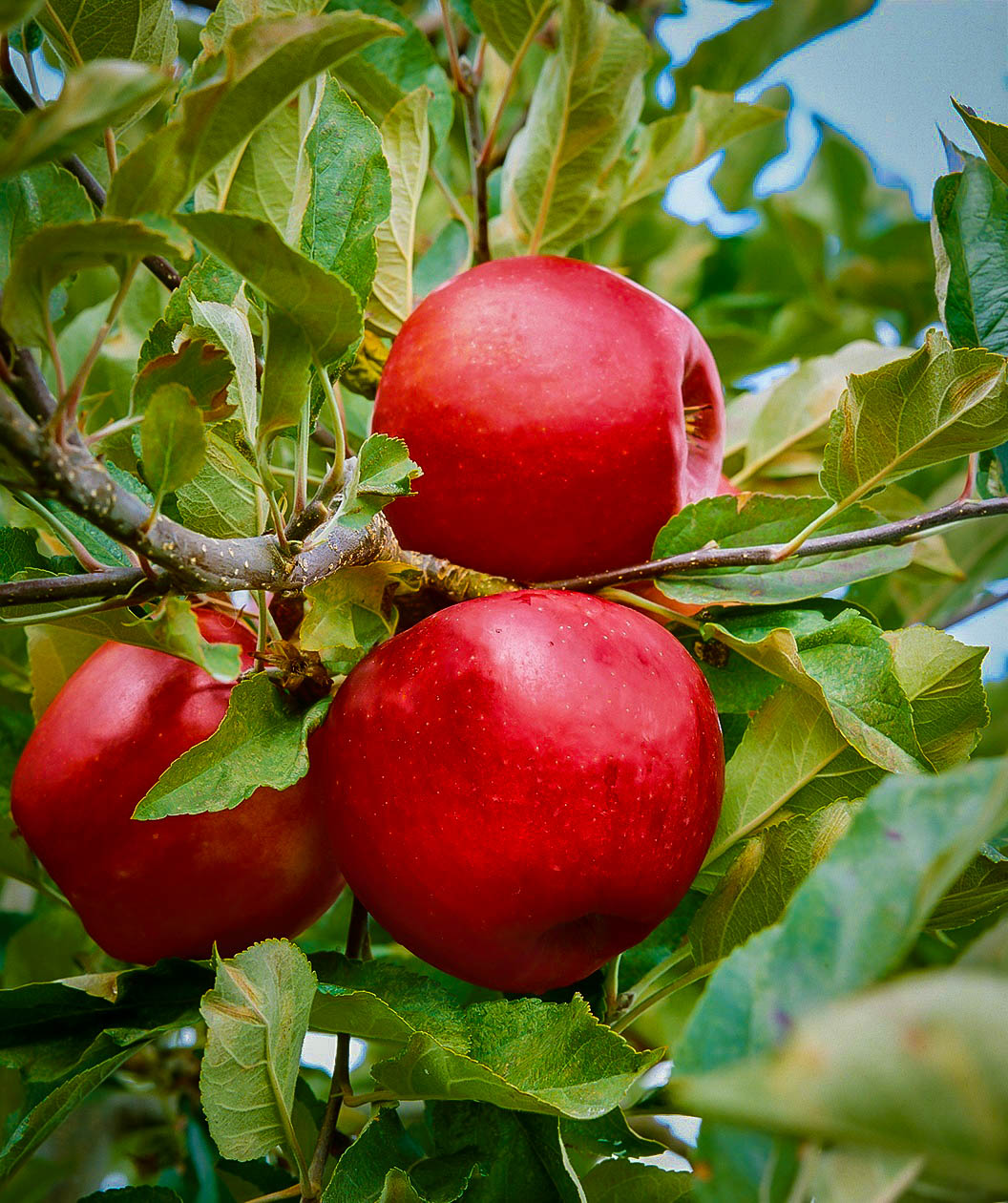 Empire Apple Trees For Sale Online