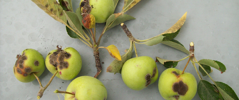 Apple Tree Diseases