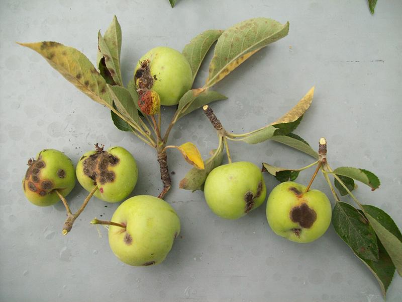 Apple Tree Diseases | The Tree Center™