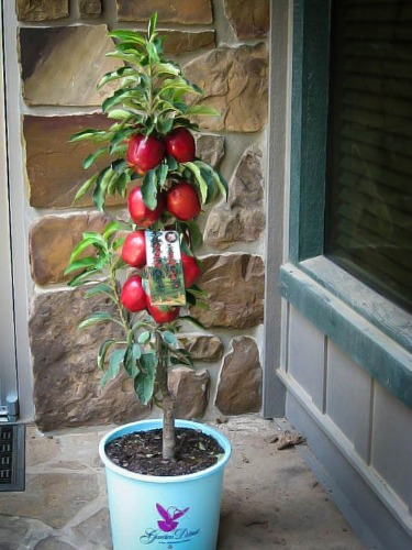 How To Plant Apple And Pear Trees The Tree Center