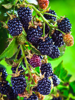 Arapaho Thornless Blackberry Bush