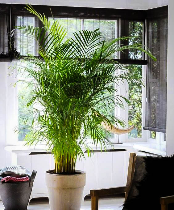 Areca Palm Trees For Sale Online The Tree Center