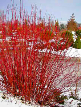 Arctic Fire Red Twig Dogwood