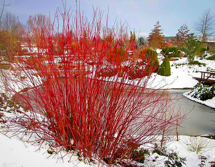 Arctic fire red twig dogwood the tree center for Red twig dogwood