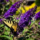 Asian Moon Butterfly Bush