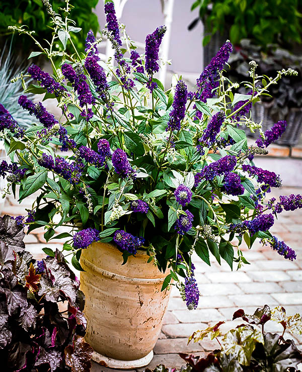 Well-liked Asian Moon Butterfly Bush | The Tree Center™ CG79