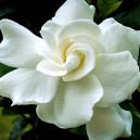 augusty-beauty-gardenia-2