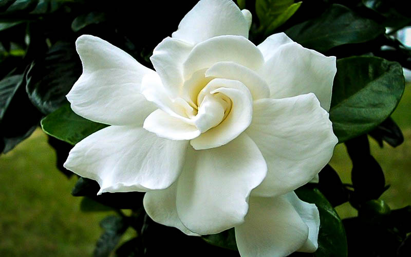 August Beauty Gardenia For Sale The Tree Center