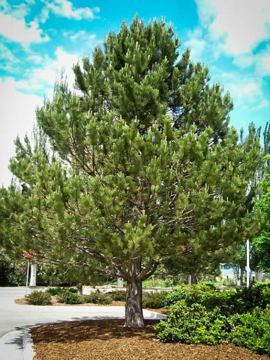 Buy Pine Trees Online The Tree Center