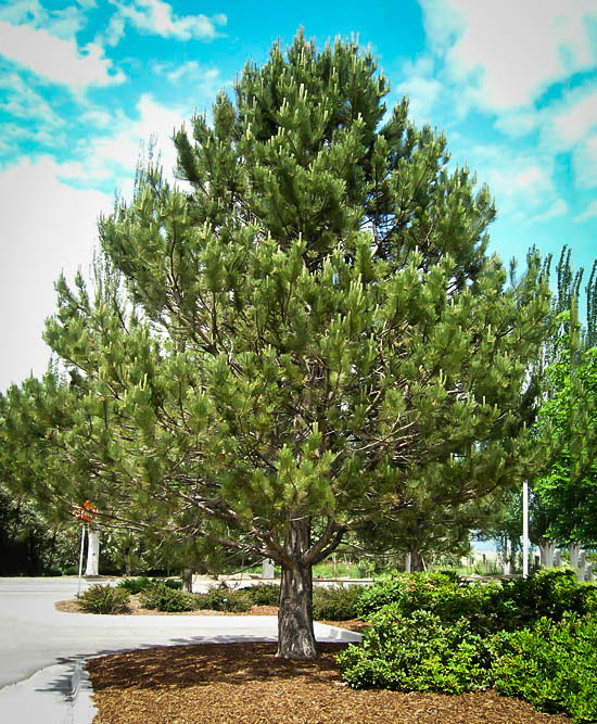 Austrian Black Pine For Sale The Tree Center