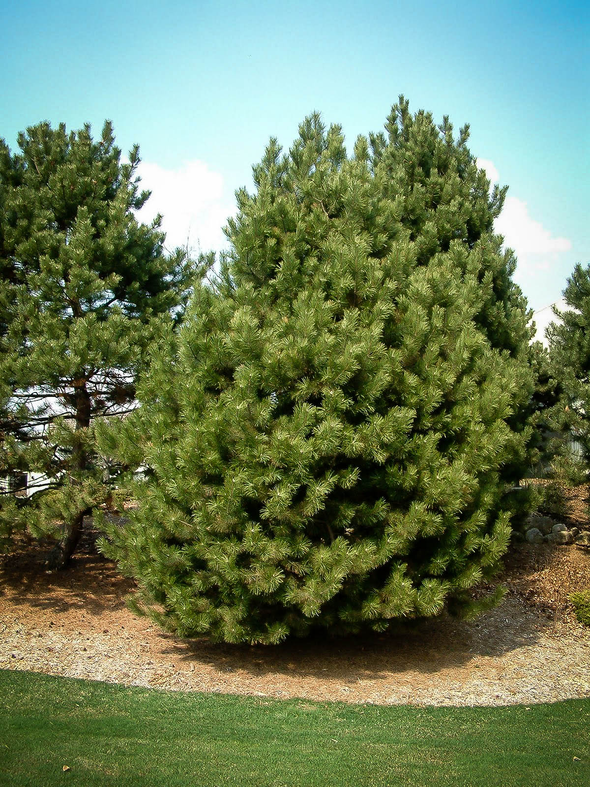 Trees Of Santa Cruz County Nyssa Sylvatica: Austrian Black Pine For Sale