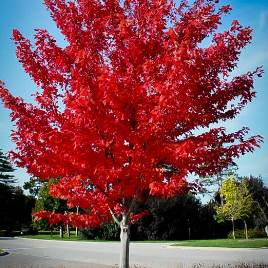 Autumn Flame Red Maple For Sale The Tree Center