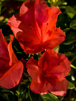 Autumn Sunset Encore Azalea