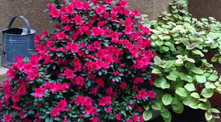 Growing Encore Azaleas in Pots