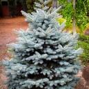 baby-blue-spruce-2