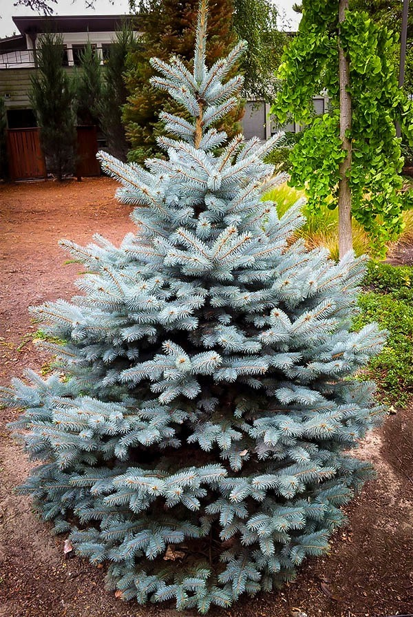 Plant ... - Buy Baby Blue Spruce For Sale The Tree Center™