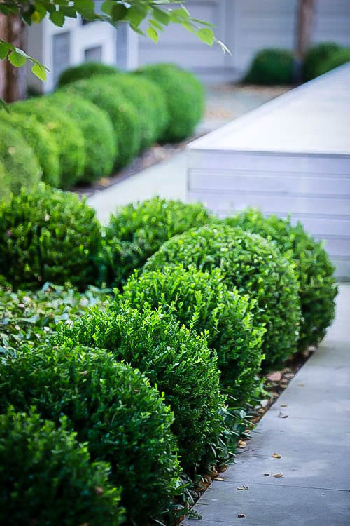 Baby Gem Boxwood Shrubs For Sale The Tree Center