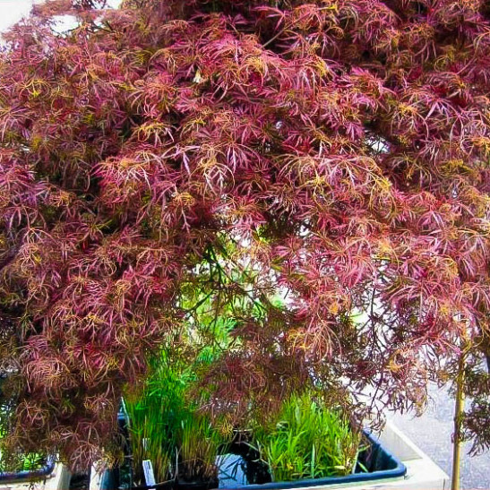 Buy Baby Lace Japanese Maple Tree On Standard