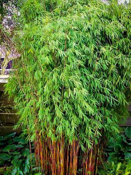 buy bamboo trees online the tree center