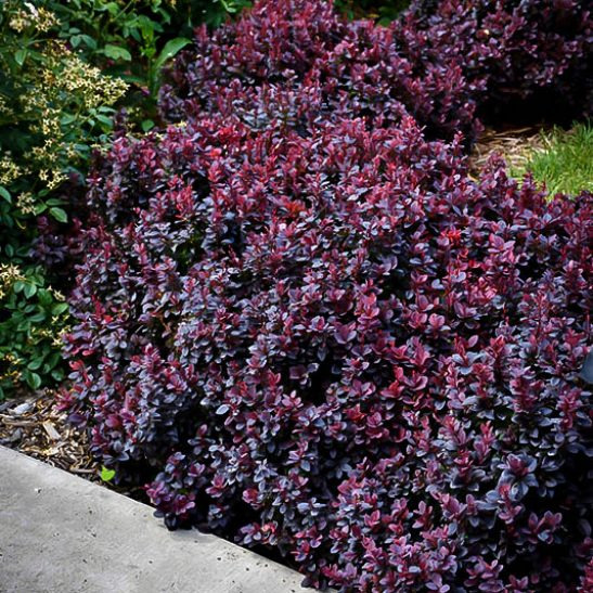 Concorde Barberry Shrubs For Sale | The Tree Center™