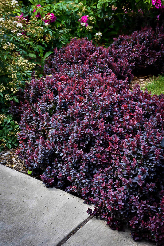 Concorde Barberry Shrubs For Sale The Tree Center