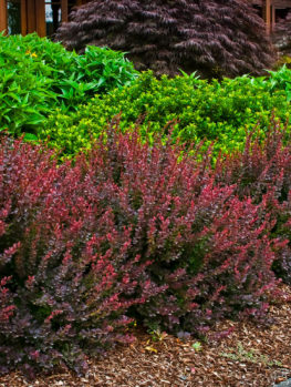 Royal Burgundy® Barberry