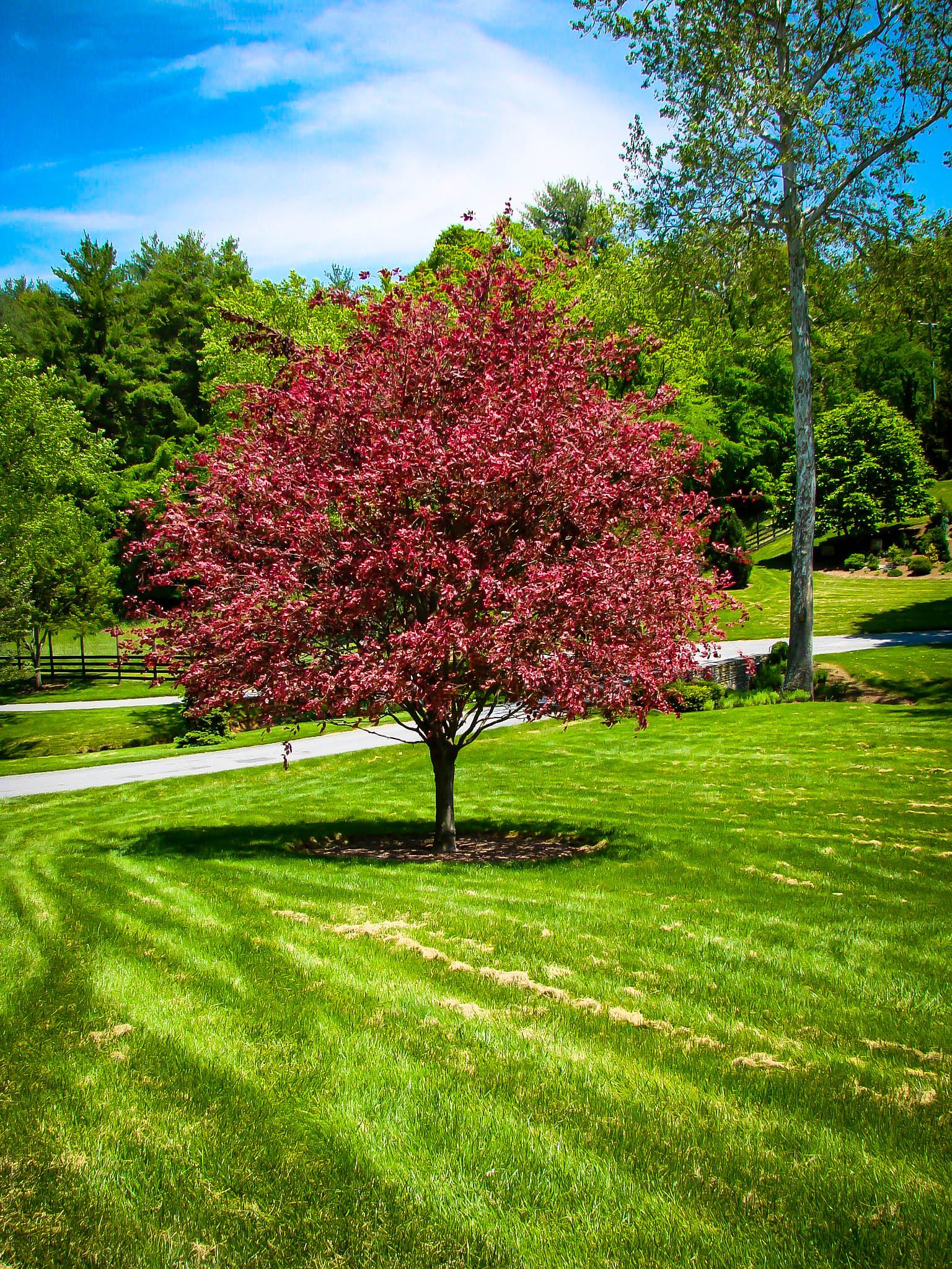 Tri Color Beech Trees For Sale Online The Tree Center